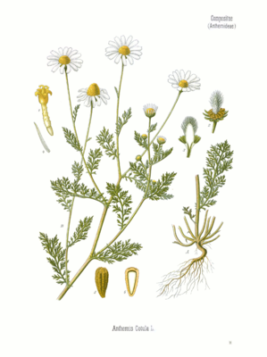 Stinkende Hundskamille (Anthemis cotula), Illustration