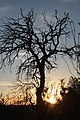 ARBOL SECO EN MONTEBATRES COTORREDONDO - panoramio.jpg