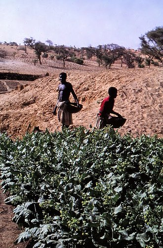 Cultivation of tobacco - Tobacco cultivation in a dry river bed, Tireli, Mali, 1980