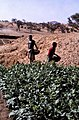 ASC Leiden - W.E.A. van Beek Collection - Dogon agriculture 04 - Tobacco cultivation in the dry season in the bed of the stream, Tireli, Mali 1980.jpg