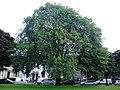 AZ0114 Ulmus x hollandica. Hermitage Place, Edinburgh. (05).jpg