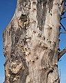 A Gnarled Tree Trunk - geograph.org.uk - 1719344.jpg