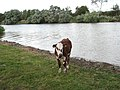 A calf by the River Yare - geograph.org.uk - 1468171.jpg