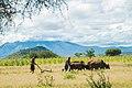 A cow as a plough used by masai.jpg
