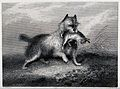 A dog retrieving a dead hare. Etching by J. Westley after G. Wellcome V0021853.jpg