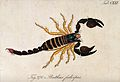 A large scorpion; Buthus fulvipes. Coloured engraving. Wellcome V0022402.jpg
