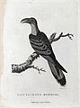 A psittaceous hornbill sitting on a branch of a tree. Etchin Wellcome V0022864EL.jpg