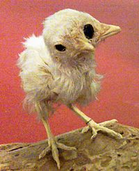 A stuffed chick with two beaks and three eyes.jpg