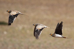 A view of Tibetan Sandgrouse in flight - Tso Kar, Ladakh, Jammu Kashmir India.jpg