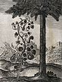 A vine bearing four pear-shaped gourds and a date palm; illu Wellcome V0023025.jpg