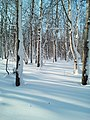 A winter forest in the North-West of Sakhalin. 9.jpg