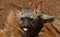 Aardwolf, Proteles cristata, at Lion and Rhino Reserve, Gauteng, South Africa (47987202172).jpg