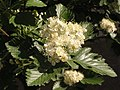 Ab plant 1732.jpg