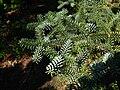 Abies pinsapo Glauca foliage PAN.jpg