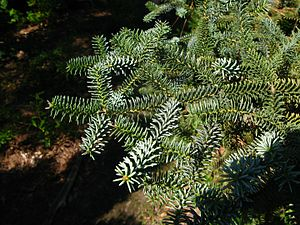 Abies pinsapo - Image: Abies pinsapo Glauca foliage PAN