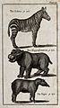 Above, a Zebra; below, a Hippopotamus and a Tapir. Wood-engr Wellcome V0020461EL.jpg