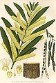 Acacia-longifolia.jpg