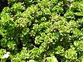 Acalypha wilesiana hoffmannii-2-yelagiri-vallore-India.jpg