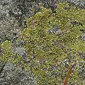 Acarospora sp. - Flickr - pellaea (1).jpg