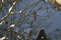 Accipiter nisus in Minsk.jpg