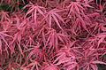 Acer Palmatum 'Red Pygmy'.jpg