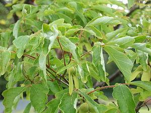 Acer griseum - Image: Acer griseum 5