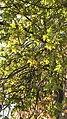 Acer marcrophyllum.jpg