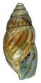 Achatina vassei shell 5.png