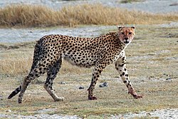 250px Acinonyx jubatus walking edit