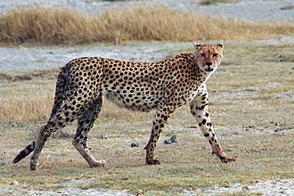 Big cat - Image: Acinonyx jubatus walking edit
