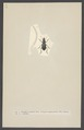 Acinopus - Print - Iconographia Zoologica - Special Collections University of Amsterdam - UBAINV0274 001 01 0066.tif