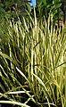 Acorus calamus Variegatus kz1.jpg