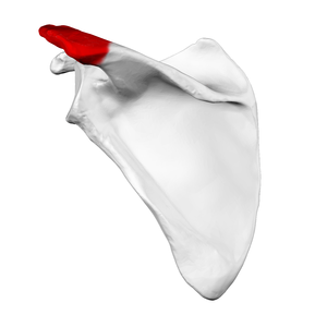 Acromion - Left scapula. Posterior view. Acromion shown in red.