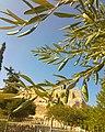 Acropolis Olive Trees.jpg