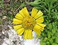 Actinella scaposa -比利時 Ghent University Botanical Garden, Belgium- (9216072788).jpg