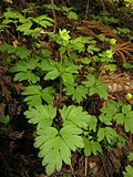 Adoxa moschatellina-Japan 2.JPG