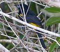 Adult Cuban oriole - subspecies of Greater Antillean, Icterus dominicensis melanopsis - Flickr - gailhampshire.jpg