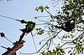 Adult lion-tailed macaque looking at the electrocuted infant in Valparai DSC 2520.jpg