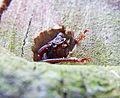 Aegosoma scabricorne schlupf.jpg