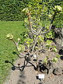 Aeonium arboreum - Botanischer Garten, Frankfurt am Main - DSC03156.JPG