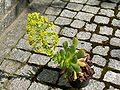 Aeonium canariense PICT1827.jpg