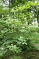 Aesculus parviflora kz07.jpg