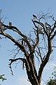 African Hawk-Eagles (2406376340).jpg