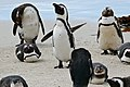 African Penguins (Spheniscus demersus) (32092323114).jpg