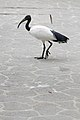African Sacred Ibis (25313369800).jpg