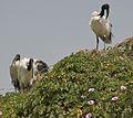 African Sacred Ibises (5065784088).jpg