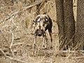 Afrikaanse Wilde Hond (6290939536).jpg
