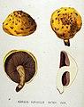 Agaricus aurivellus — Flora Batava — Volume v19.jpg