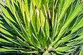 Agave filifera in Christchurch Botanic Gardens 02.jpg