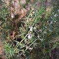 Agrimonia de Cuba (Teucrium cubense).jpg